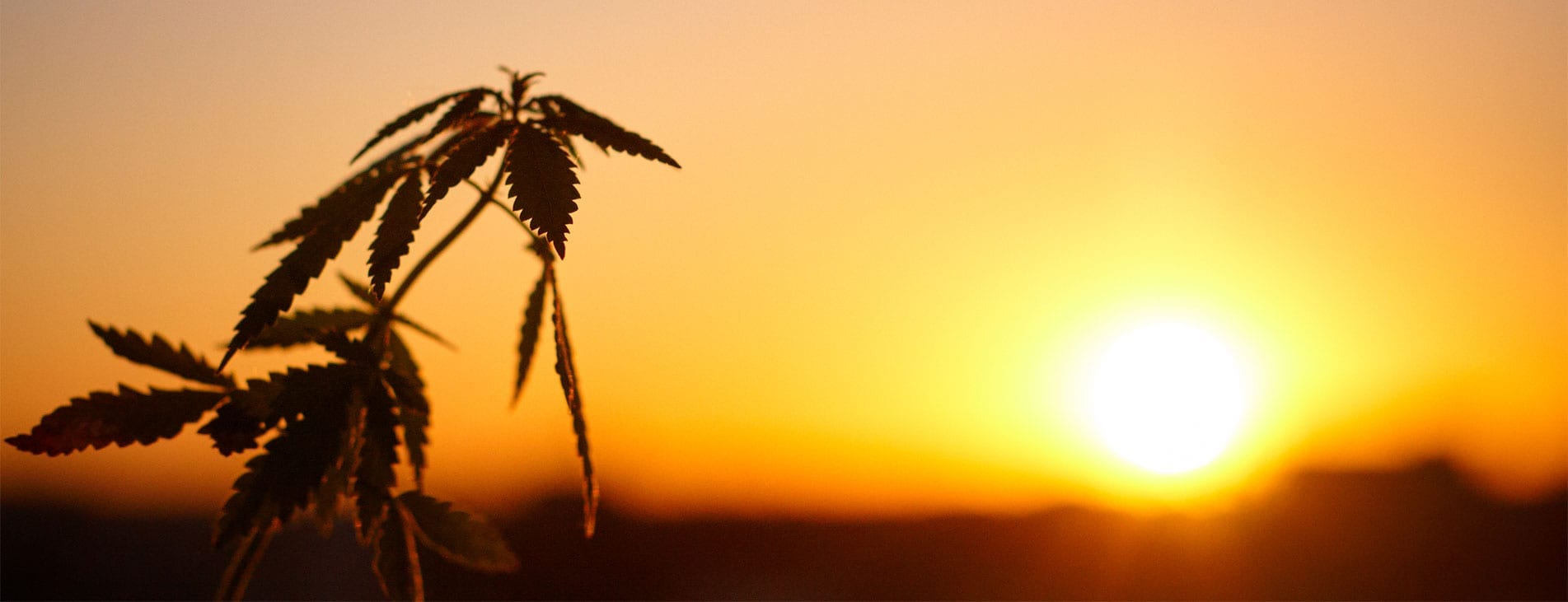 sunset with a close up of a hemp plant