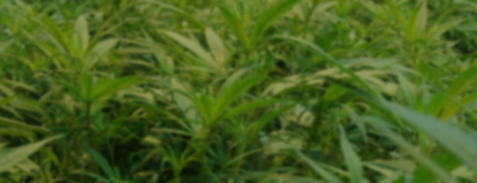 Hemp plants in a field blurred and darkened